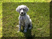 English Setter Puppy Molly